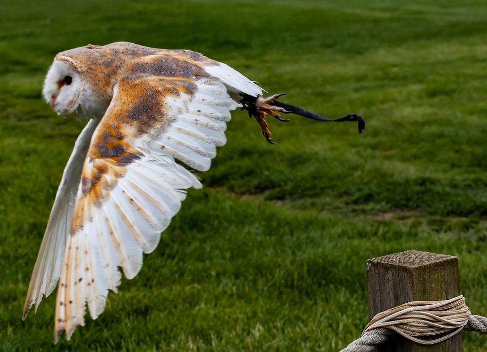 Flying Owl, European Owl, White Owl, Captive Owl