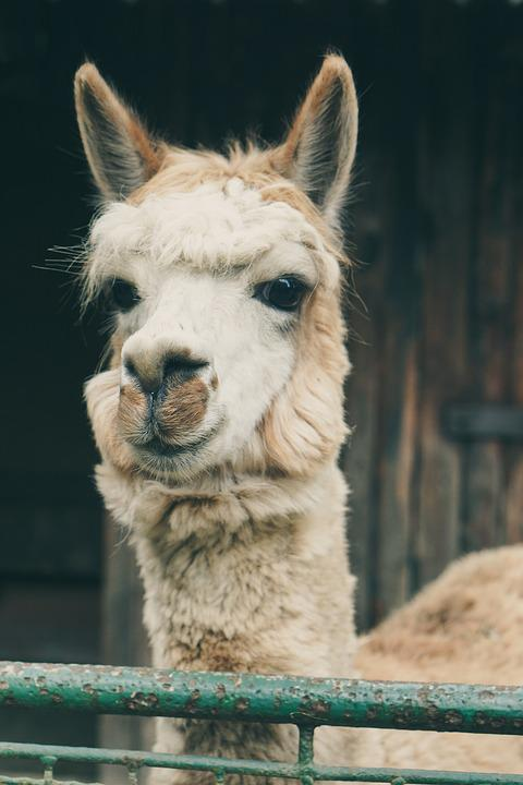 Lama, Alpaca, Captivity, Black And White, Fence, Zoo