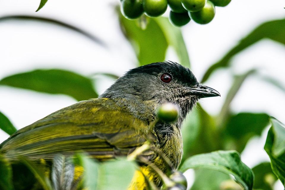 Bird, Capulinero, Beak, Feathers, Plumage, Fruits