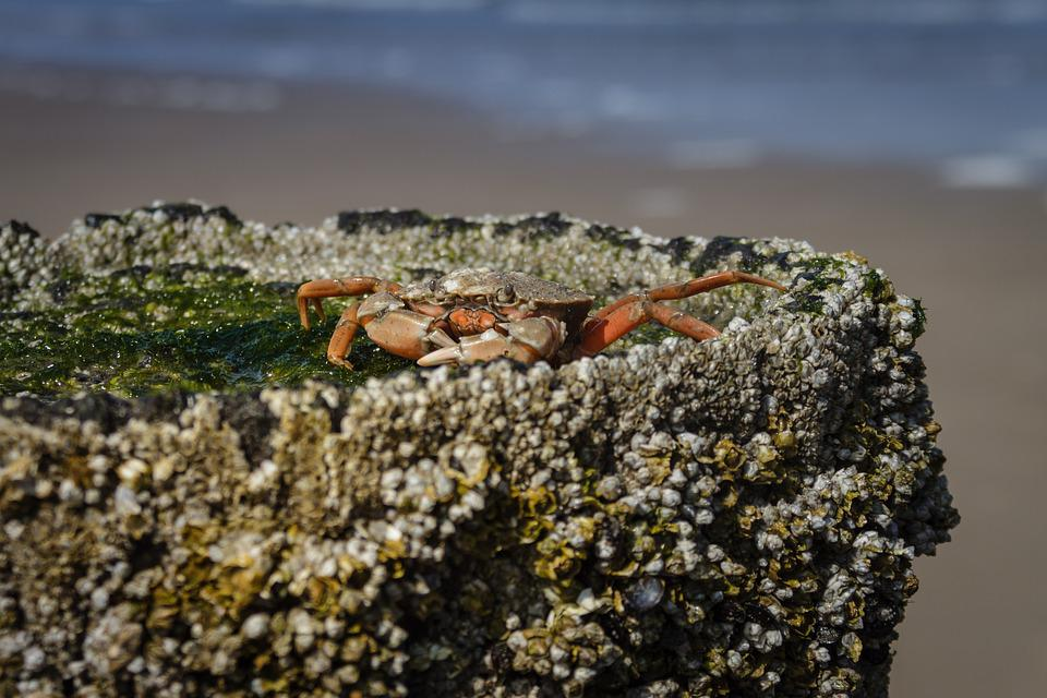 The Beach Crab, Carcinus Maenas, Crab, Cancer, Beach