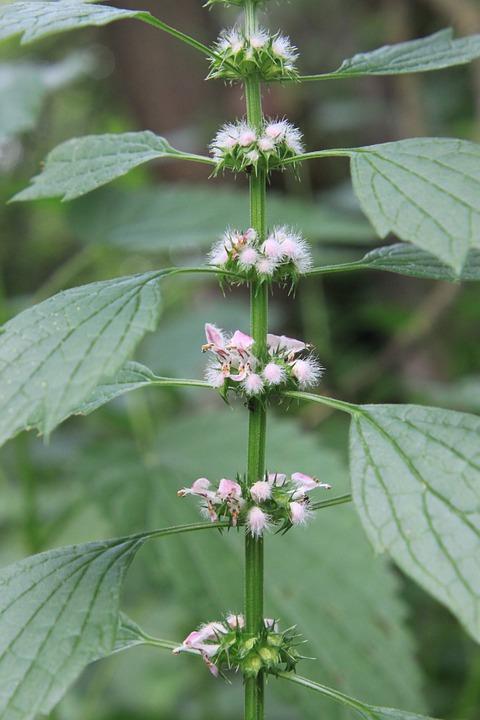Cardiaca, Flowers, Herbs, Lamiaceae, Leonurus, Lilac