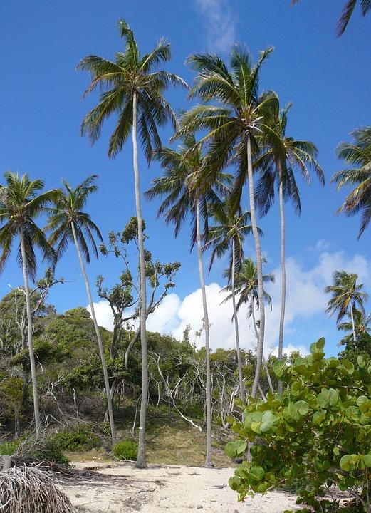 Caribbean, Martinique, Nature, Coconut Trees, Trees