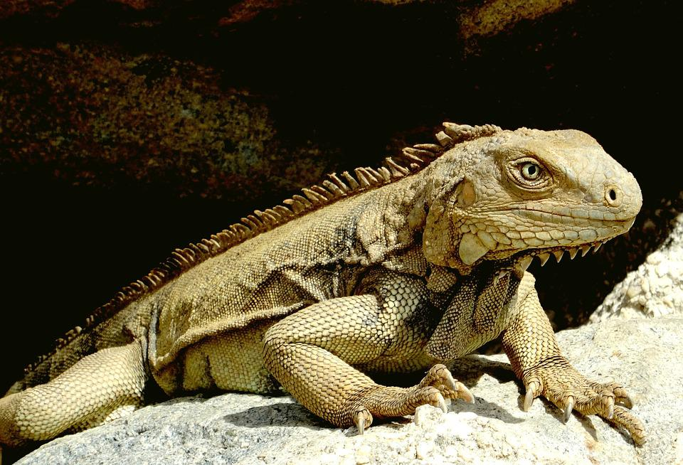 Iguana, Caribbean, Reptile, Scale, Lizard, Head, Claw