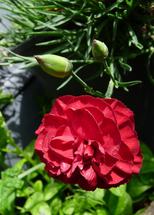 Carnation, Red, Flower