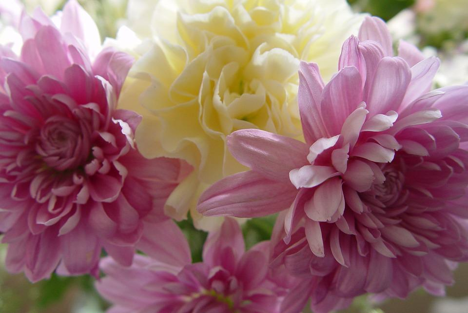 Carnation, Flowers, Spring