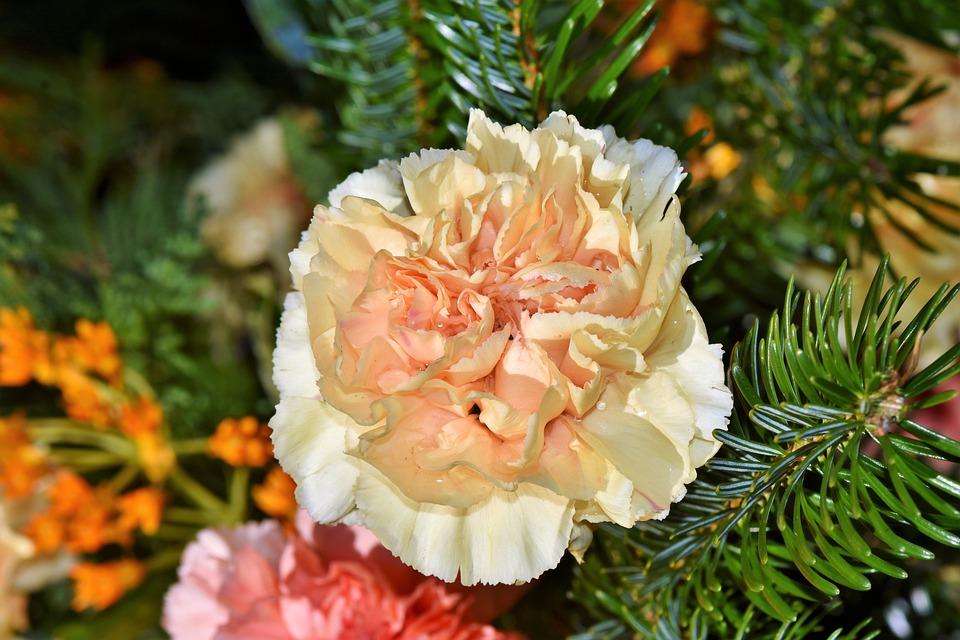 Carnation, Carnations Arrangement, Petals, Dianthus