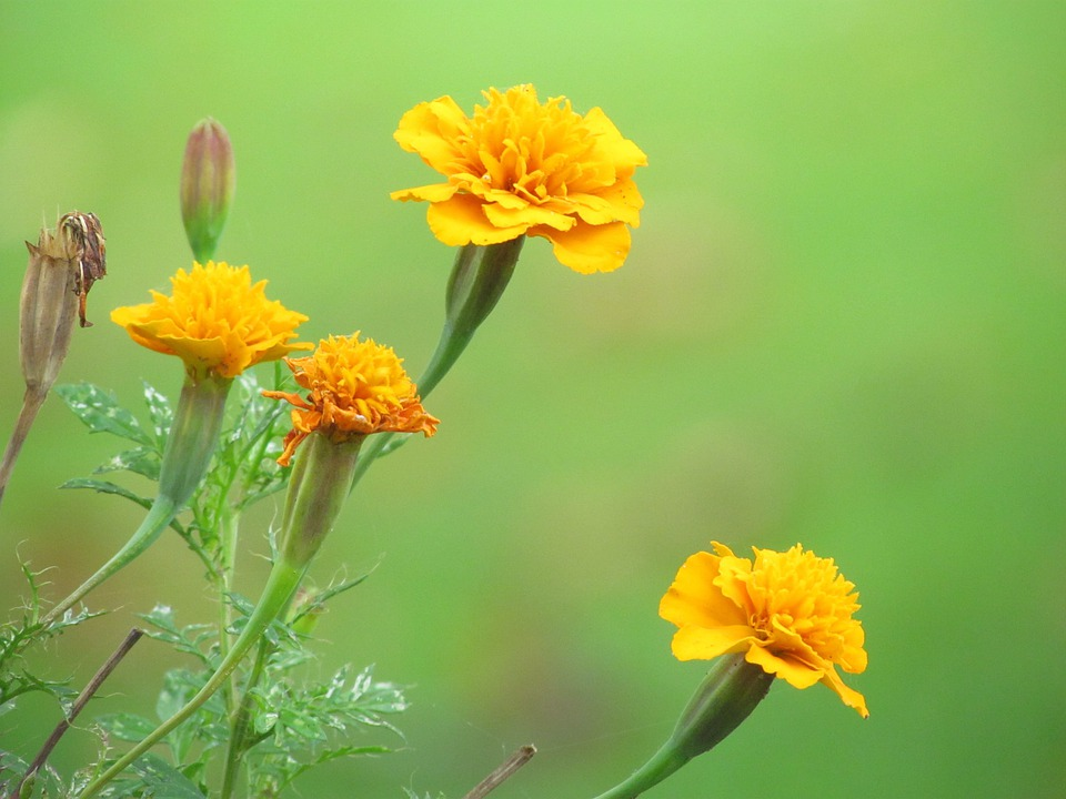 Free photo carnations flowers yellow max pixel flowers yellow carnations mightylinksfo