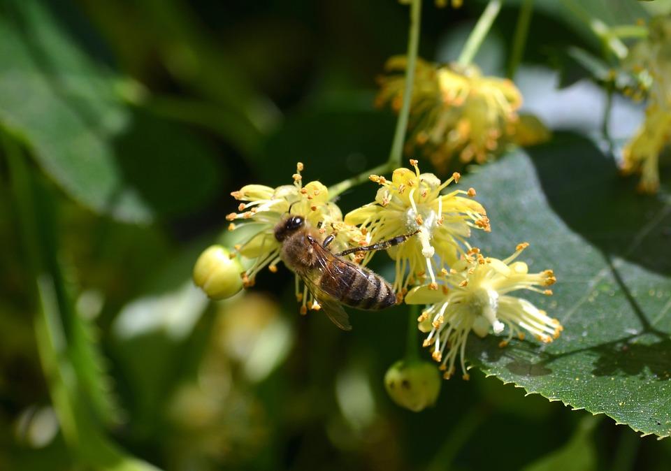 Bee, Carnica, Linde, Honey Costume, Linden Flower