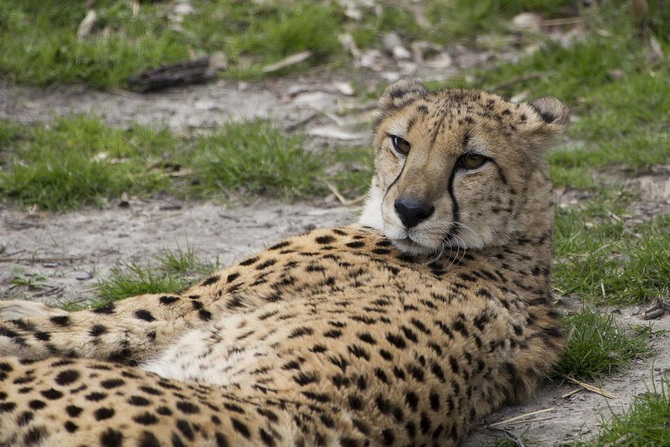 Wildlife, Carnivore, Mammal, Nature, Animal, Cheetah