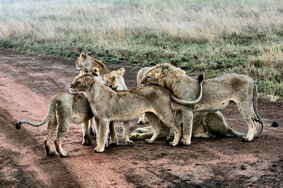 Animal, Carnivore, Feline, Grass, Hunter, Lion, Lioness
