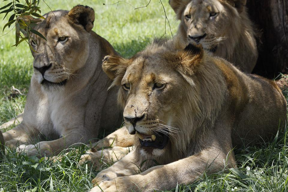 Lion, Mammal, Animal World, Cat, Carnivores, Predator