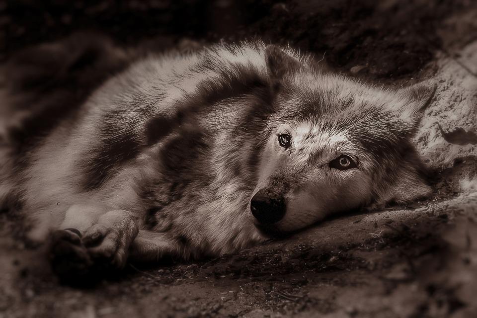 Wolf, Animal, Home, Nature, Predator, Carnivores