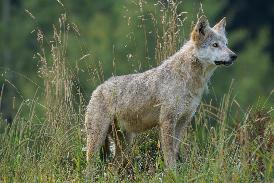 Wolf, Predator, Carnivores, Pack Animal, Attention