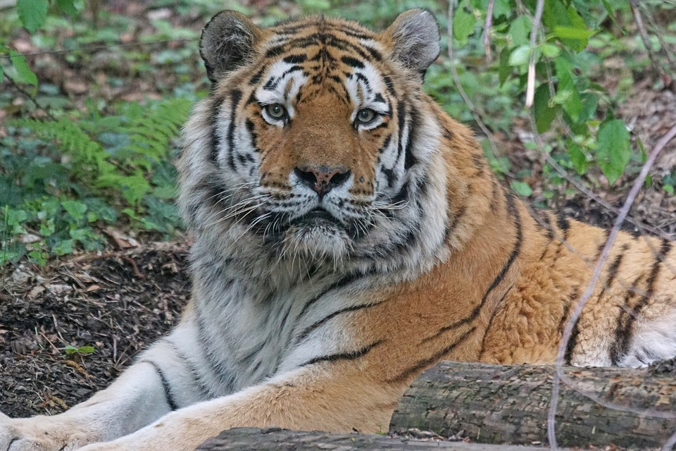 Amurtiger, Tiger, Cat, Carnivores, Predator