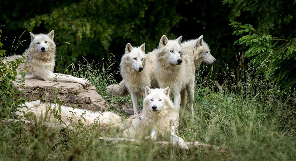 Wolves, Park, Wolf, Wild, Nature, Carnivores, Zoo