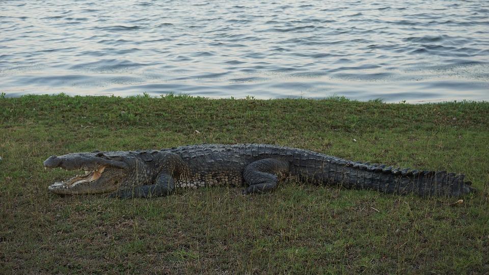 Crocodile, Nature, Animals, Predator, Carnivorous