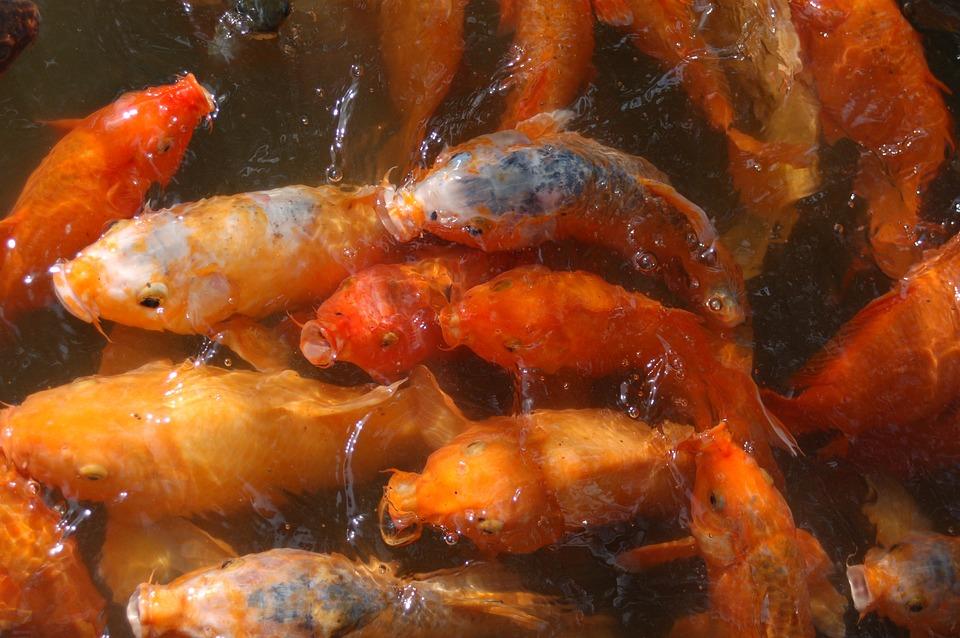 Fish, Orange, Carp