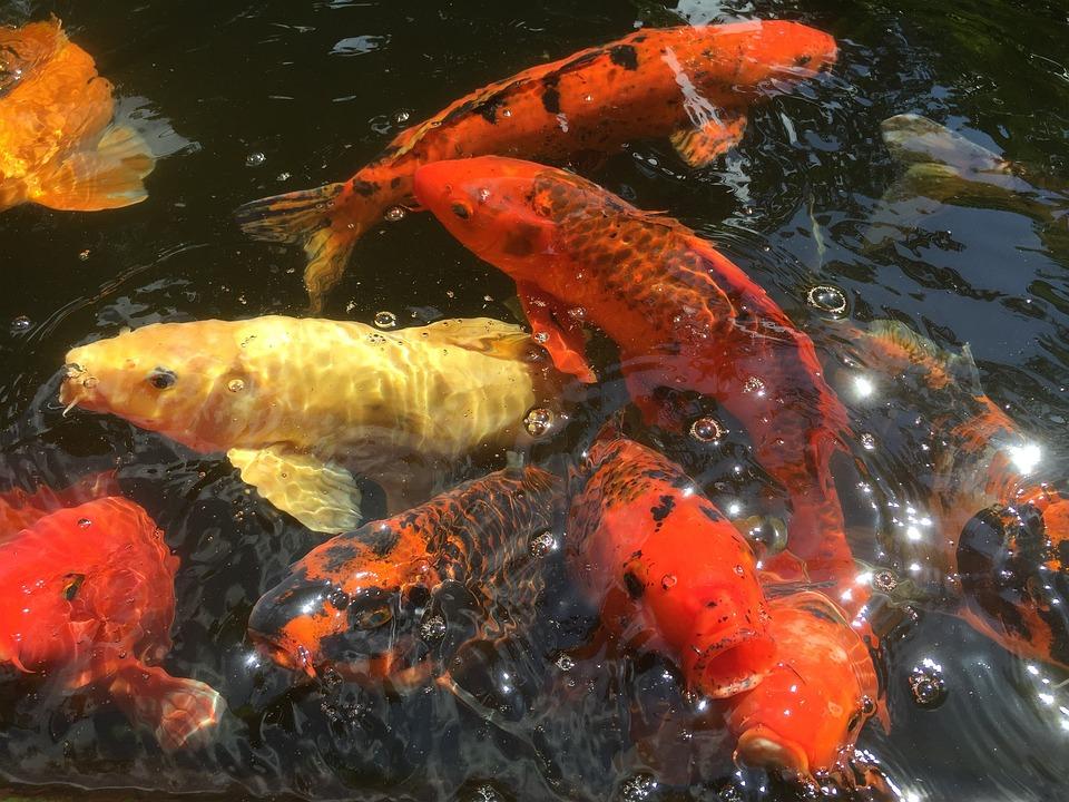 Fish, Koi, Pond, Carp, Colorful