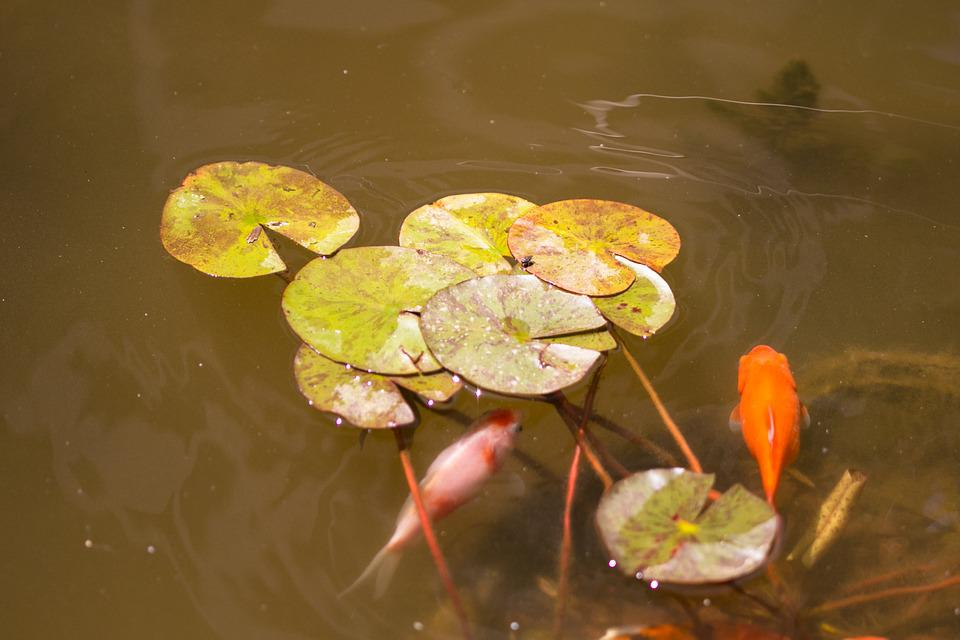 Fish, Pond, Water Lily, Lake, Koi, Carp