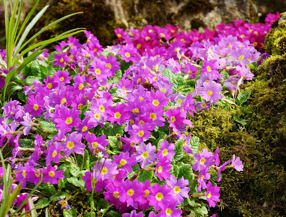 Primrose, Carpet Primrose, Flowers, Bloom, Purple, Pink
