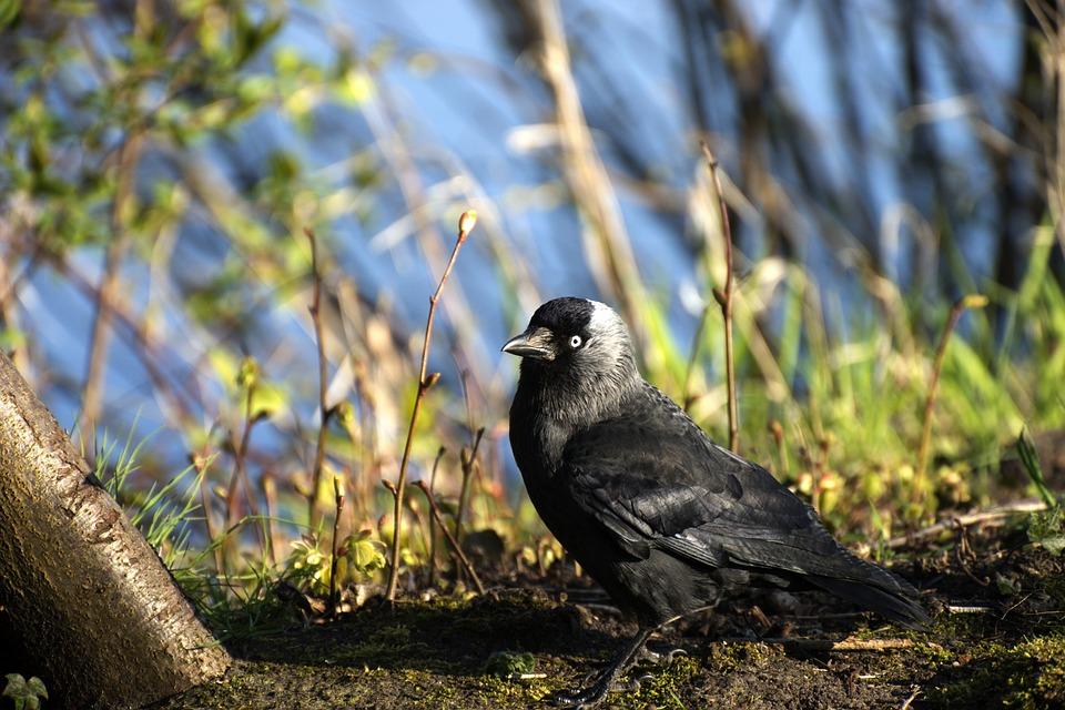 Bird, Raven, Jackdaw, Raven Bird, Black, Carrion Crow