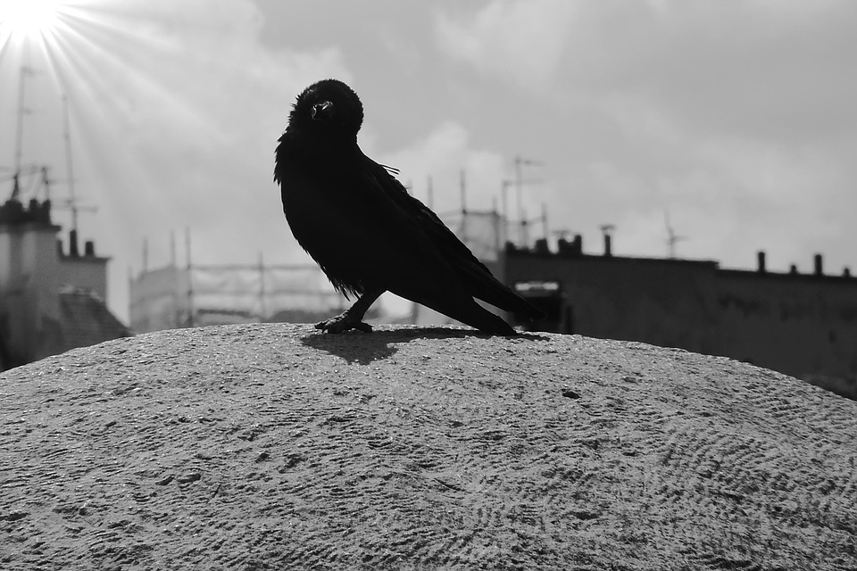Carrion Crow, Birds, Bird, Crow, Raven Bird, Sit