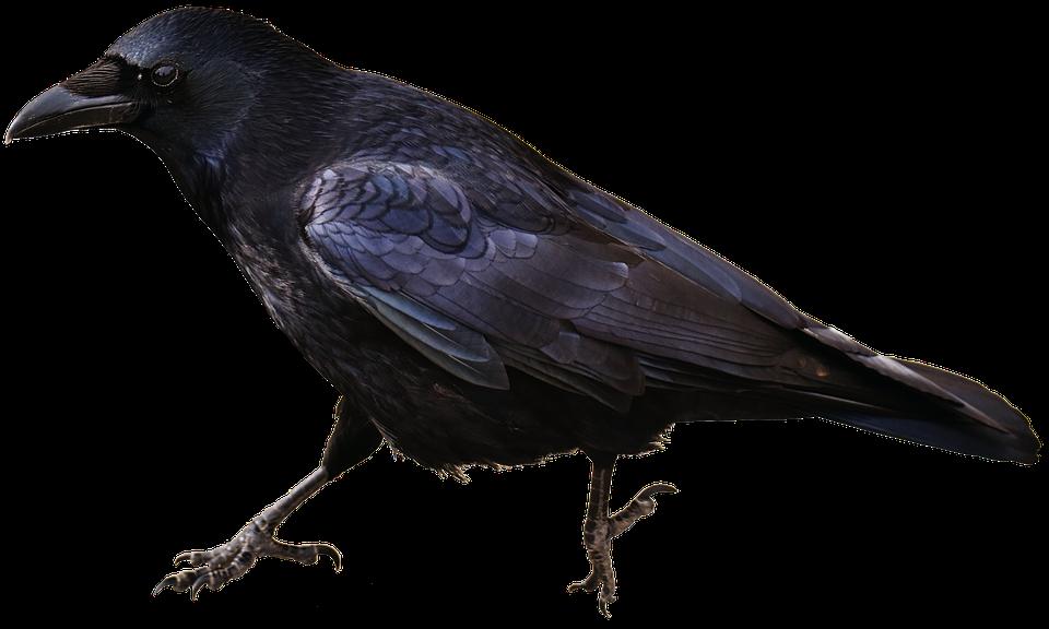 Isolated, Crow, Bird, Carrion Crows, Animal