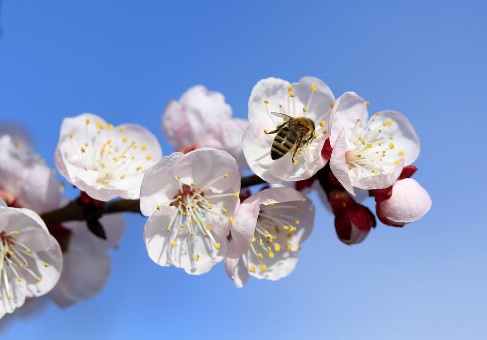Bee, Flowers, White, Spring, Tree, Casey, Nature