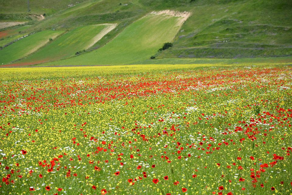 Bloom, Castellucccio Of Norcia, Umbria, Colorful, Field