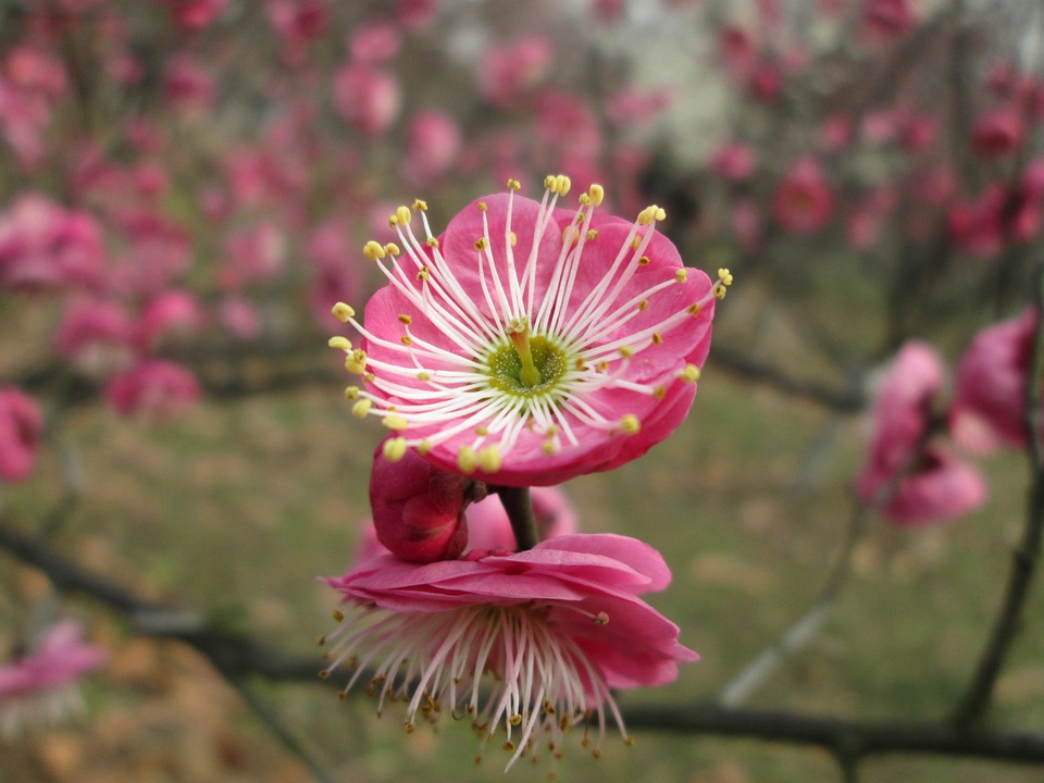 Plum Garden, Castle Peak Park, Plum Blossom, Pink
