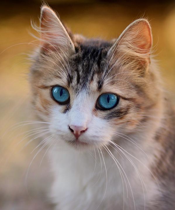 Cat, Blue Eyes, About, Pet