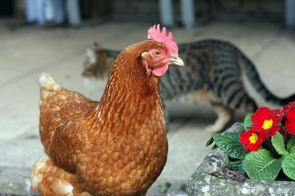 Cat, Kitten, Pet, Cute, Feline, Eyes, Kitty, Adorable