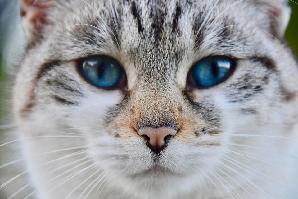 Cat, Truffle Cat, Nose Of Cat, Alley Cat, European Cat