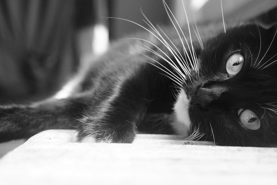 Cat, Black, White, Animal, Cat Eyes, Black White