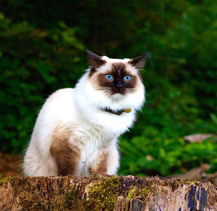 Cat, Animal, Portrait, Blue Eye