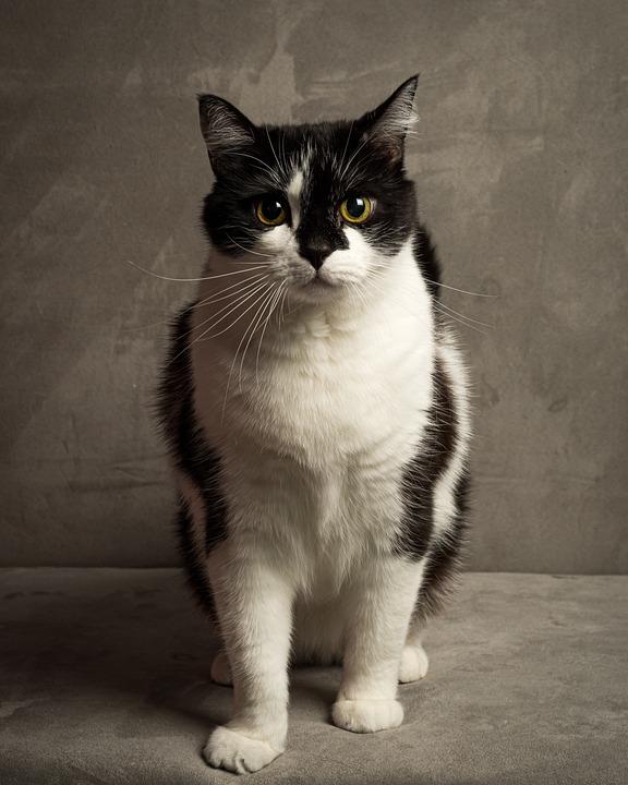 Cat, Black, White, Pet, Feline, Animal, Brown Cat