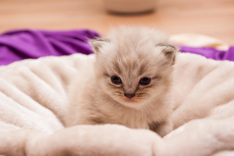 Animal Children, Cat, Persians, Babies, Kittens