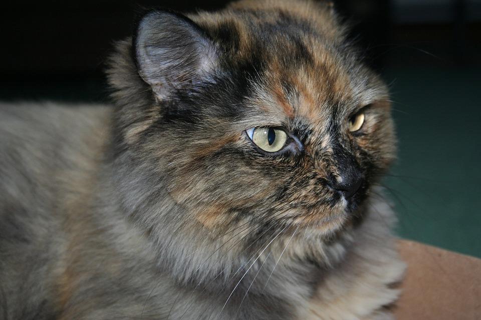 Grumpy, Cat, Fur, Pet, Animal, Feline