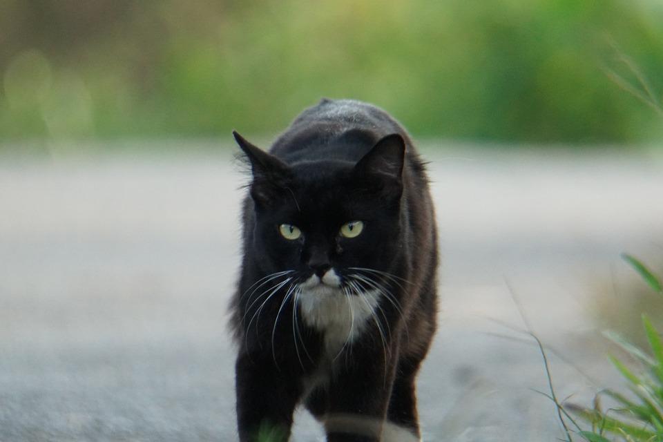 Cat, Animal, Pet, Kitten