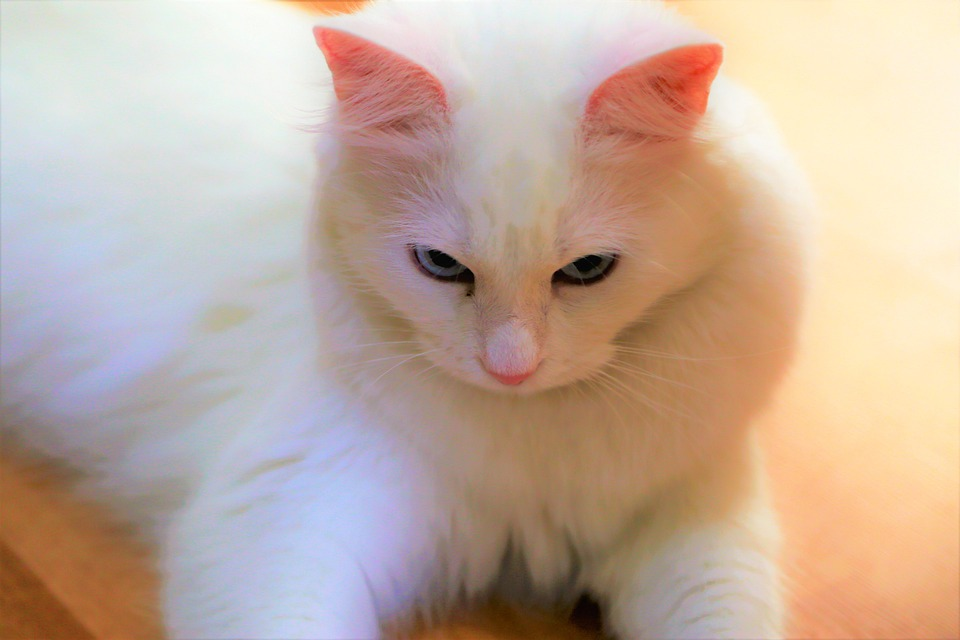 Free Photo Cat Animal Mammal Pets Beautiful Eyes White Cute Max Pixel