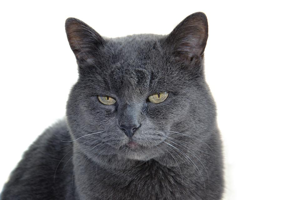 Cat, Animal, British, A Cross Between, Fur, Portrait