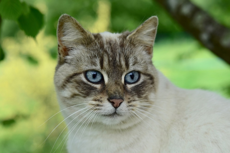 Cat, Pussy, Portrait Of Cat, Blue Eyes Of Cat, Animal