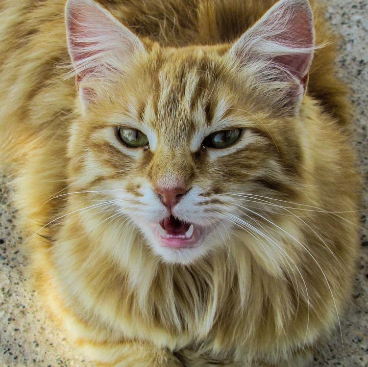 Cat, Stray, Meow, Roaring, Animal, Looking, Hungry