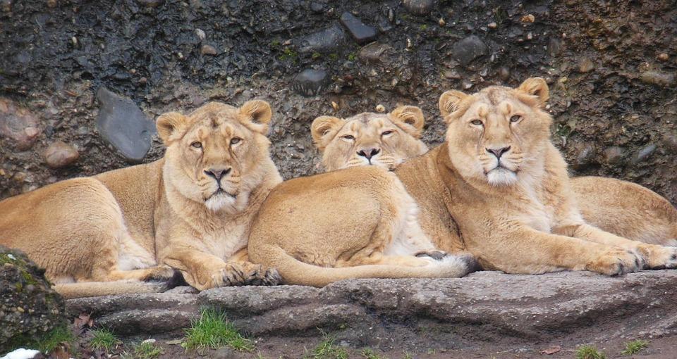 Lioness, Animal, Zoo, Cat, Wild
