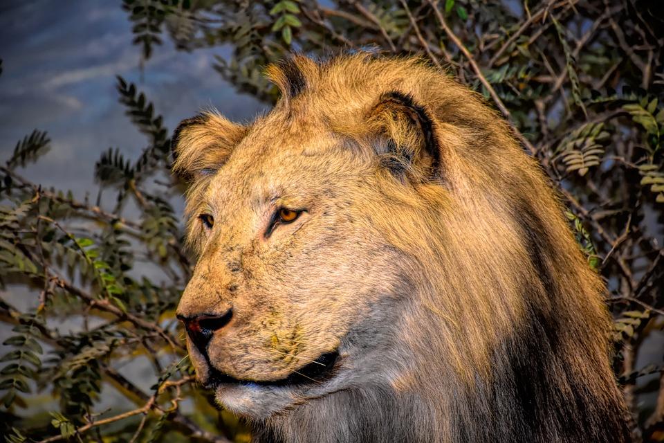 Lion, Wildlife, Africa, Animal, Mammal, Nature, Cat