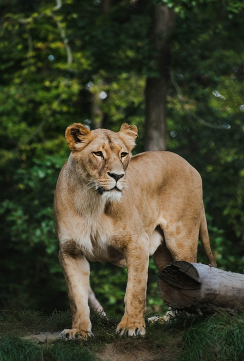 The Lion, Lioness, Zoo, Cat, Animal, Wilderness