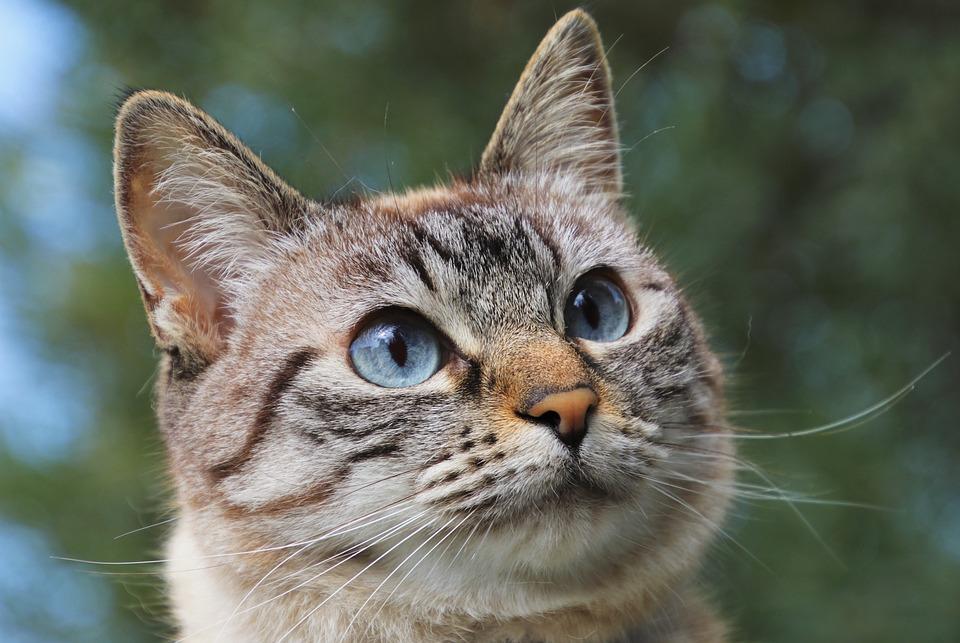 Cat, Pet, Animals, Fur, Whiskers, Sad Eyes, Amy Lee