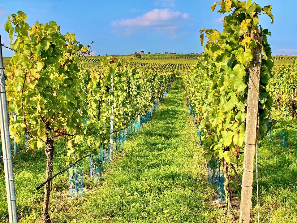 Vineyard, Vines, Cat, Wine, Autumn, Sommerach, Grapes