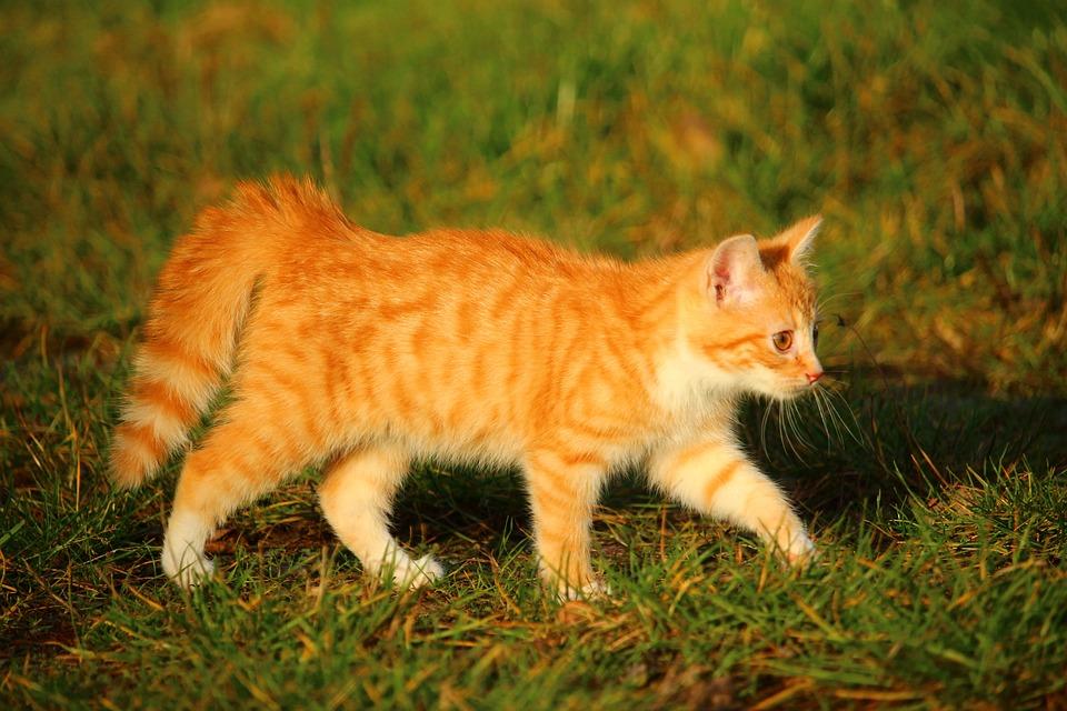 Kitten, Cat, Cat Baby, Red Mackerel Tabby, Young Cat