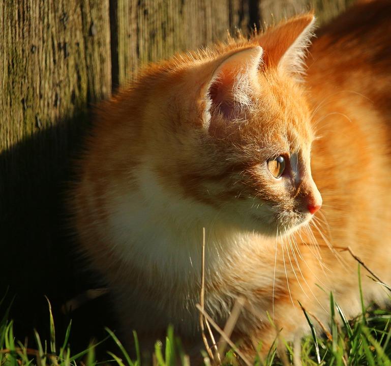 Kitten, Cat, Cat's Eyes, Red Mackerel Tabby, Cat Baby